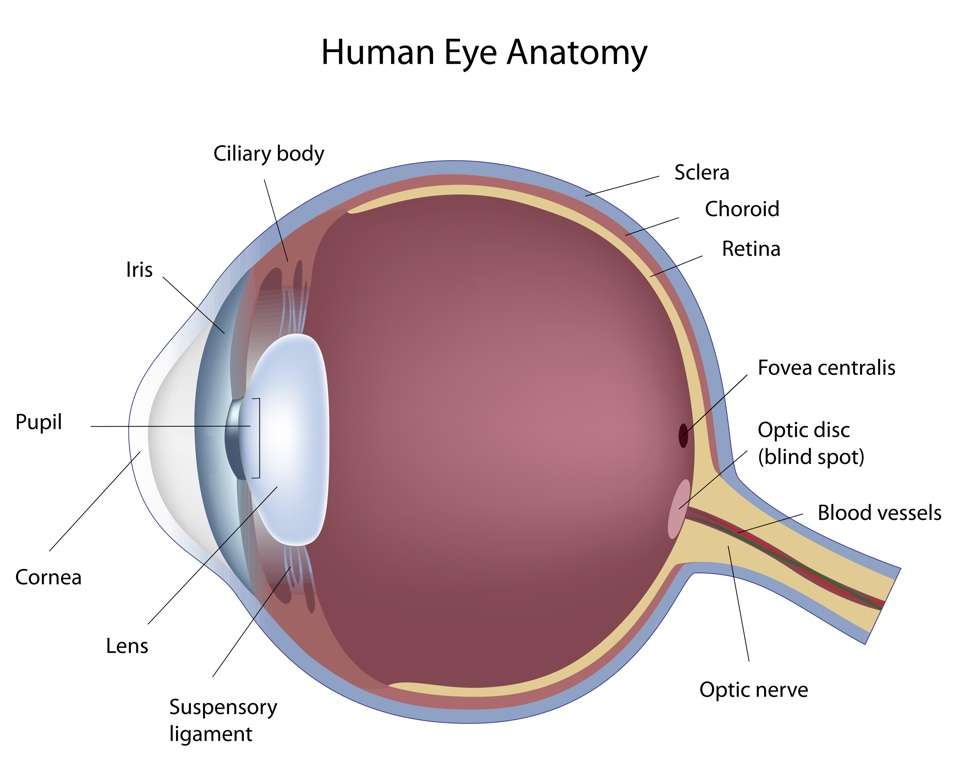 The Anatomy And Working Of The Eye Charl Laas Optometrists