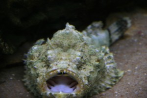 Picture of Stone Fish (Synanceia verrucosa)