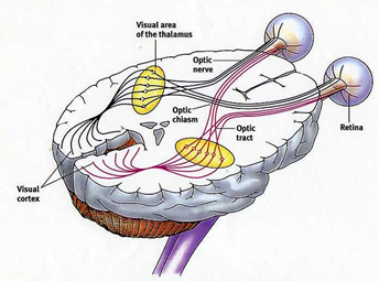 Schematic showing the visual pathway from the eyes to the visual cortex