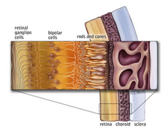 The human retina is made up out of ten nerve layers