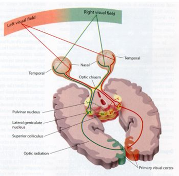 Picture showing how the human visual field is transmitted to the ocipital visual cortex