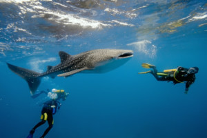 Diving with a Whale Shark (Rhincodon typus)